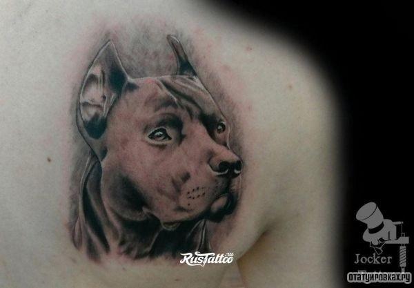 Татуировка питбуль