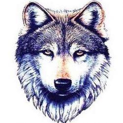 волк фото, эскиз